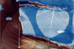 Cyanotype and vandyke Leaf v4
