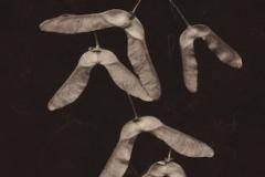 Vandyke Winged Seeds