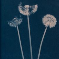 Cyanotype-flower01
