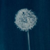 Cyanotype-flower02