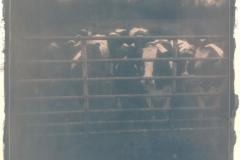 Cyanotype Cows