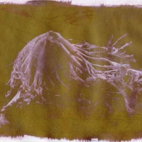 Chrysotype rex Lettuce