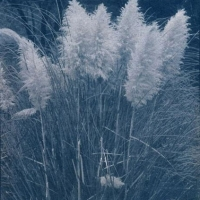 Cyanotype rex Pampas grass
