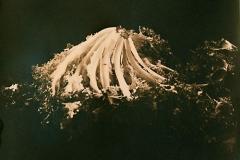 Cyanotype rex Lettuce