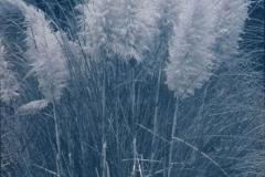 Cyanotype rex Pampas grass