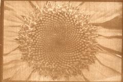 Gum print Sun flower