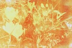 Anthotype Crocus with tulip petals