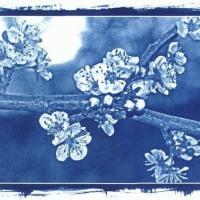 Cyanotype-Appel-Blossom