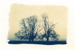 Cyanotype Trees