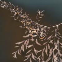 Lumen Spiraea-Cinerea