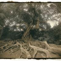 Vandyke brown Ficus-Macrophylla