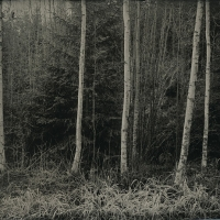 Wetplate collodion Birches and Grass