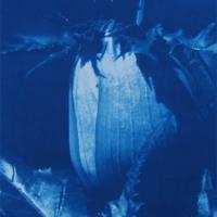 Cyanotype Giant Hogweed 2