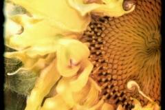 Polaroid SX-70 Sunflower ii
