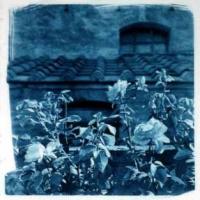 Cyanotype Italy roses