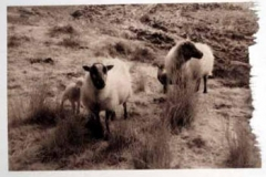 Vandyke Sheep