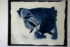 Cyanotype Toned Dark Blue Butterfly