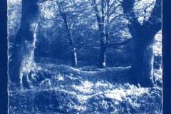 Cyanotype Bircher coppice