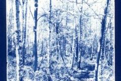 Cyanotype Spinney early spring