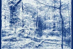Cyanotype The spinney in spring