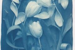 Cyanotype Tulips