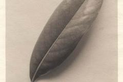 Platinum print Magnolia