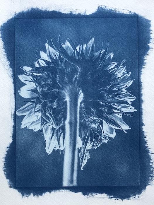 Cyanotype-Sunflower