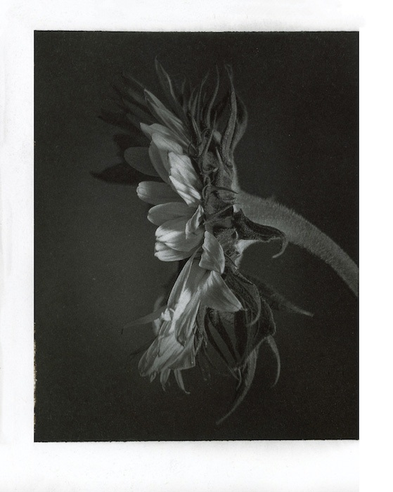 Kallitype-Sunflower-01