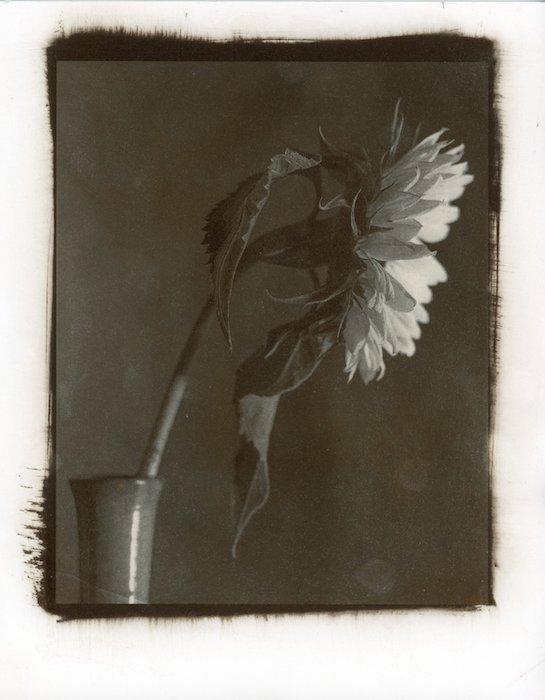 Kallitype-Sunflower-03