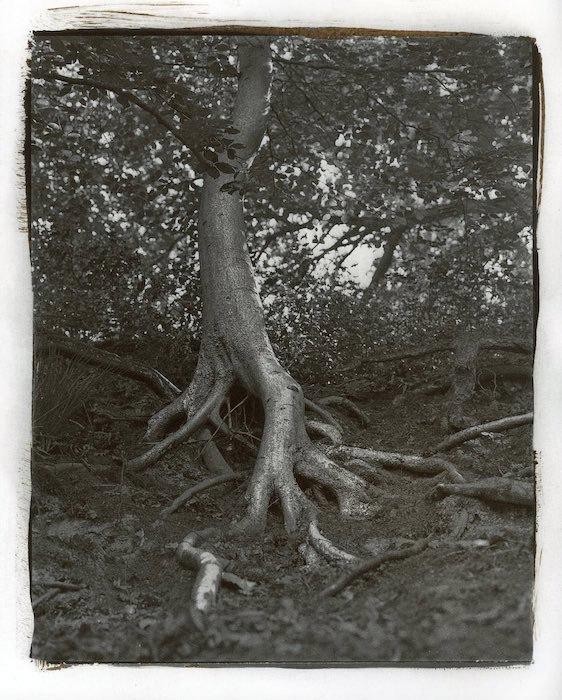 Kallitype-Tree-01