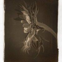 Kallitype-Sunflower-02