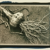 Cyanotype over Ziatype First Garlic