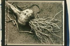 Cyanotype over Ziatype First Garlic