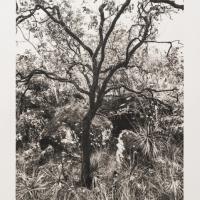 Platinum palladium Cerrado Tree