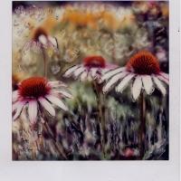 Polaroid SX-70 Cone Flower 1