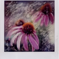 Polaroid SX-70 Cone Flower 2