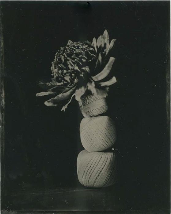 Tintype Waratah