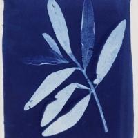 Cyanotype Bedfordia aborscens