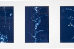 Cyanotype Triptych Bush Feathers