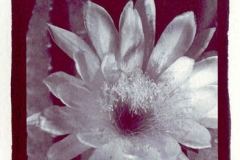 Chrysotype Cactus