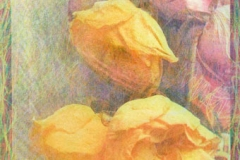 Tri coloured gum Rose 1