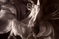 Albumen print 10 Amaryllis