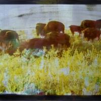 Tri-color gum over Vandyke Buffalo
