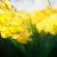 Pinhole Easter Lillies