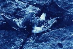 Cyanotype Gull, South Ronaldsay