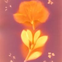 Lumen print Sunburst Azalea