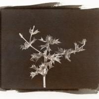 Vandyke print Sea Holly