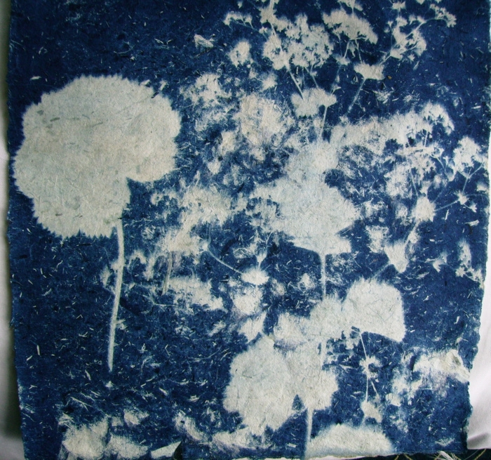Cyanotype Alchemilla Mollis cyanotype