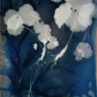 Cyanotype Alchemilla Mollis