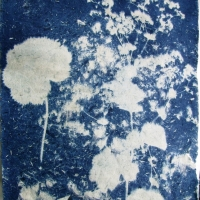 Cyanotype Alchemilla mollis on ha'made paper